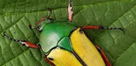 cétoine verte-jaune - micropolis-aveyron.com