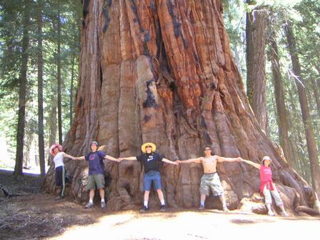 Arbre Séquoia gigantesque, ici en Californie peut atteindre jusqu'à 150 m de hauteur